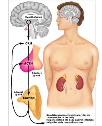 stress hormone