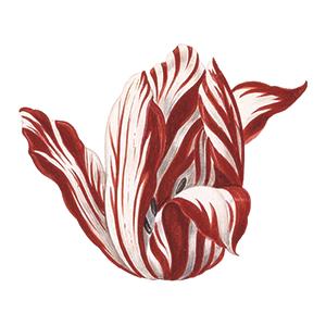 semper augustus tulip