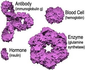 protein molecule size comparison