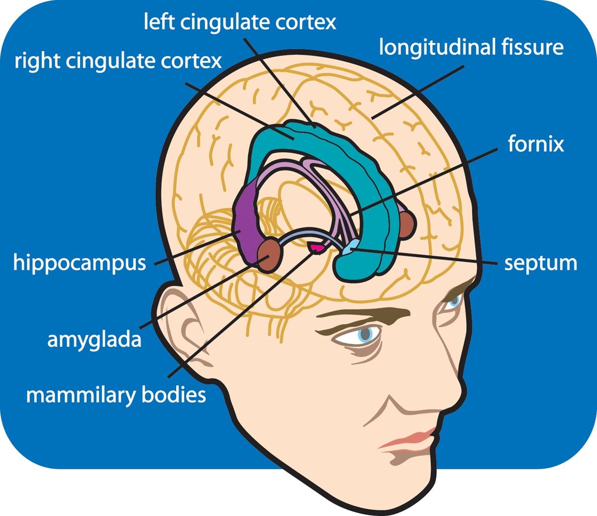 Emotions: limbic system