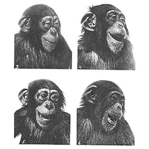 laughing chimp